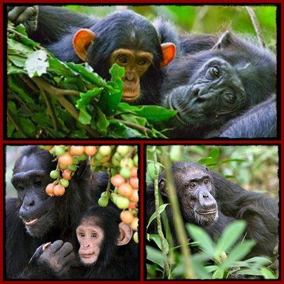 Chimpanzee - Background - Information - Habits- Uganda - Rwanda