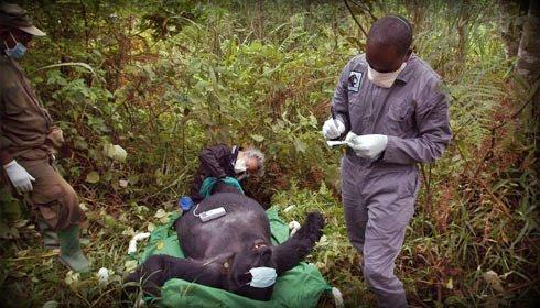 Gorilla Doctors making Forest Calls