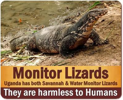 Nile Monitor Lizards