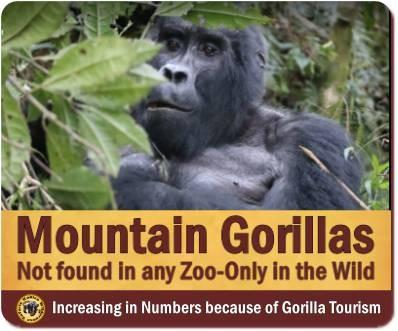 Mountain Gorillas of Uganda and Rwanda
