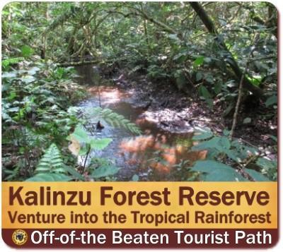 Kalinzu Forest -Chimpanzee