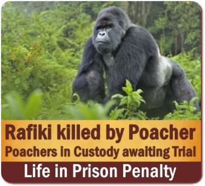Poachers kill the famous Rafiki Gorilla Silverback Gorilla