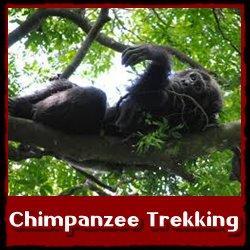 chimpanzee-trekking-semliki