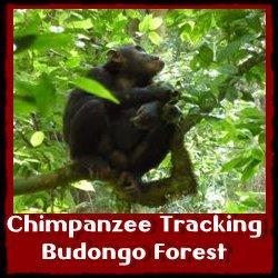 Budongo Chimpanzee-Tracking