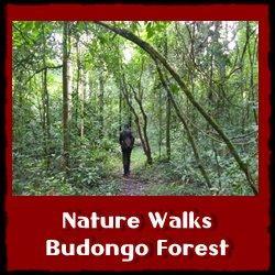 nature-walks-budongo-forest