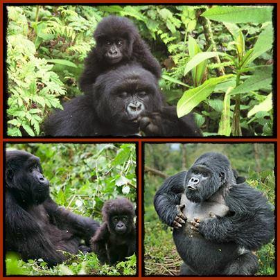Gorilla - Chimpanzee - Wildlife Safari