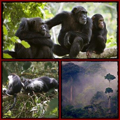 Comparing Chimpanzee Trekking- Uganda or Rwanda