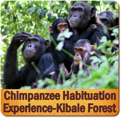 3-Day Chimpanzee Habituation Experience Safari