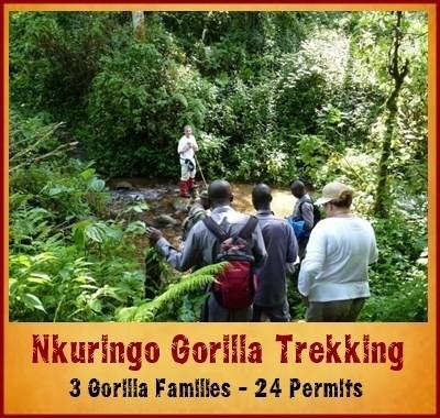 3 Gorilla Groups to Trek in the Nkuringo Area