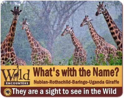 Best Places to see Rothschild Giraffes