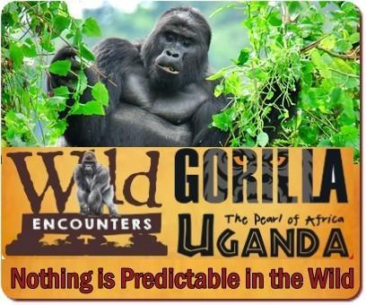 Easiest Gorilla Families to Trek