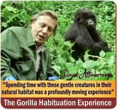 Gorilla Habituation Experience Permit